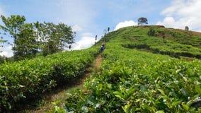 Ciclando nella piantagione di tè immagini stock