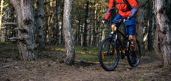 Ciclista que monta a bicicleta na fuga no pinho bonito Forest Healthy Lifestyle e no conceito do esporte Imagens de Stock