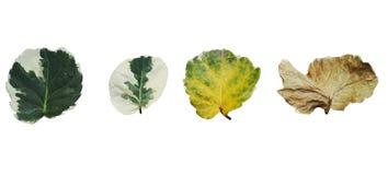 Ciclo das folhas isoladas Fotografia de Stock