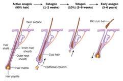 Ciclo de crecimiento del pelo Imagen de archivo
