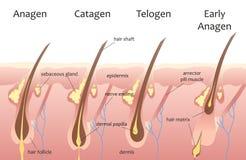 Ciclo de crecimiento del pelo de la cabeza humana Catagen biológico, fases del telogen Infographics del pelo Foto de archivo