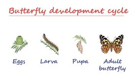 Ciclo de desarrollo de la mariposa aislado en el fondo blanco Huevos, larva, crisálidas y mariposa adulta en progreso nacido Vect Foto de archivo