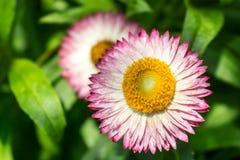 Ciclo de las flores Imagenes de archivo