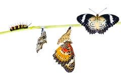 Ciclo de vida aislado de la mariposa del lacewing del leopardo Foto de archivo libre de regalías