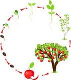 Ciclo de vida da árvore de maçã Fotos de Stock Royalty Free