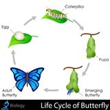 Ciclo de vida da borboleta ilustração do vetor