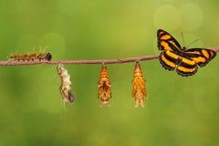 Ciclo de vida da borboleta segeant da cor que pendura no galho fotografia de stock