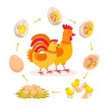 Ciclo de vida da galinha, desenvolvimento do embrião do ovo a chocar a galinha Galinha bonito e galo que têm desenhos animados do ilustração royalty free