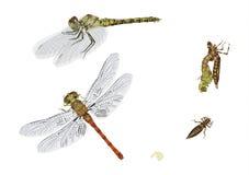 Ciclo de vida da libélula