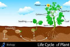 Ciclo de vida da planta Fotografia de Stock Royalty Free