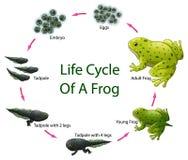 Ciclo de vida da rã ilustração royalty free