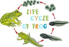 Ciclo de vida da rã ilustração do vetor