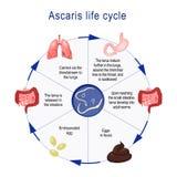 Ciclo de vida das ascáridas ilustração stock