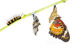 Ciclo de vida de la mariposa del lacewing del leopardo Foto de archivo libre de regalías
