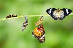 Ciclo de vida de la mariposa del lacewing del leopardo Fotos de archivo