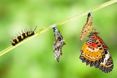 Ciclo de vida de la mariposa del lacewing del leopardo Imágenes de archivo libres de regalías