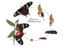 Ciclo de vida de la rosa del carmesí ilustración del vector