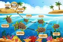 Ciclo de vida de la tortuga de mar Imagen de archivo libre de regalías