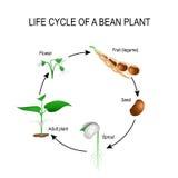 Ciclo de vida de uma planta de feijão ilustração stock
