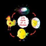 Ciclo de vida de un pollo Fotos de archivo libres de regalías