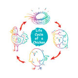 Ciclo de vida de un pollo Fotografía de archivo