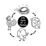 Ciclo de vida de un pollo Imagen de archivo libre de regalías