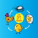 Ciclo de vida de un pollo Foto de archivo libre de regalías