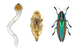Ciclo de vida del escarabajo Fotos de archivo