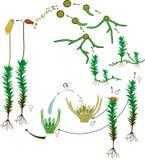 Ciclo de vida del musgo Diagrama de un ciclo de vida de un musgo común del haircap Foto de archivo libre de regalías