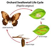 Ciclo de vida del swallowtail de la huerta libre illustration