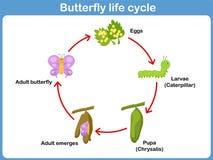Ciclo de vida del vector de una mariposa para los niños Foto de archivo