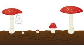 Ciclo de vida do fungo isolado no fundo branco Muscaria do amanita ilustração royalty free