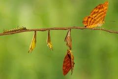 Ciclo de vida do hangin comum da borboleta do risa de Chersonesia do maplet fotografia de stock royalty free