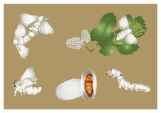 Ciclo de vida do silkmoth Imagem de Stock Royalty Free