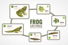Ciclo de vida Infographics da rã ilustração royalty free