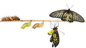 Ciclo de vida isolado da borboleta birdwing comum da fêmea fotos de stock royalty free