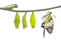 Ciclo de vida isolado da borboleta do swordtail de cinco barras (pom dos antiphates imagem de stock royalty free