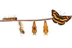 Ciclo de vida isolado da borboleta segeant da cor no branco imagens de stock