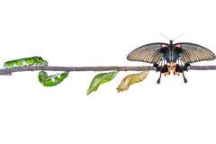 Ciclo de vida isolado da grande borboleta fêmea do mormon do caterp fotos de stock