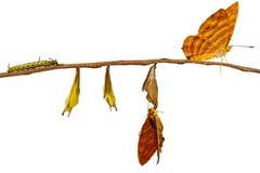 Ciclo de vida isolado do butterf comum do risa de Chersonesia do maplet fotografia de stock