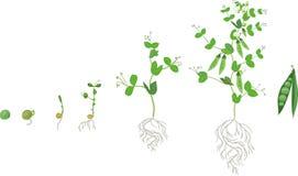 Ciclo de vida de la planta de guisante con el sistema de la raíz Etapas del crecimiento del guisante de la semilla a la planta ad Ilustración del Vector