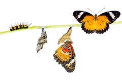 Ciclo de vida masculino aislado de la mariposa del lacewing del leopardo Imagen de archivo libre de regalías