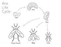 Ciclo de vida simples da formiga do desenho de esboço Imagens de Stock