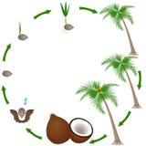 Ciclo de vida de uma planta do coco em um fundo branco Imagens de Stock Royalty Free