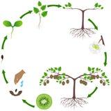 Ciclo de vida de uma planta do quivi em um branco ilustração stock