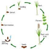 Ciclo de vida de una planta de la caña de azúcar en un fondo blanco libre illustration