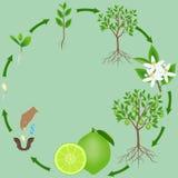 Ciclo de vida de una planta de la cal en un fondo verde stock de ilustración