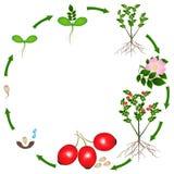 Ciclo de vida de una planta de los escaramujos en un fondo blanco Imágenes de archivo libres de regalías