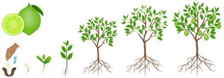 Ciclo del crecimiento de una planta de la cal en un fondo blanco stock de ilustración