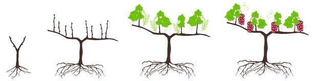 Ciclo del crecimiento de una planta del uvas aisladas en un fondo blanco Imagen de archivo